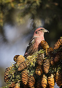 Crossbill Art - On The Lookout by Brian Peterson