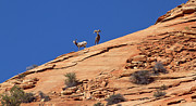Bighorn Photos - On the lookout by Elvira Butler