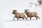 Bighorn Photos - On The Move by Sandra Bronstein