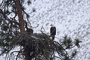 Bald Eagles Prints - On the Nest Print by Mike  Dawson