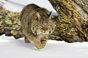 Bobcats Framed Prints - On the Prowl Framed Print by Jack Milchanowski