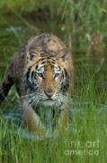 Asian Tiger Prints - On The Prowl Print by Sandra Bronstein