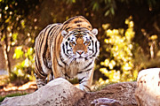 The Tiger Framed Prints - On the Prowl Framed Print by Scott Pellegrin