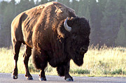 Bison Originals - On The Road Again by Doug Hubbard