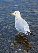 Sea Gull Prints - On the Rocks Print by Carol Groenen