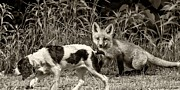 Fox Photos - On the Scent sepia by Steve Harrington