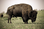 Bison Digital Art - On the the Range by Amy Denson