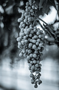 Wine Vineyard Photos - On the Vine  BW by David Morefield