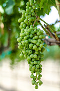 Vine Grapes Prints - On the Vine Print by David Morefield