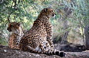 African Cat Prints - On Watch Print by Fraida Gutovich