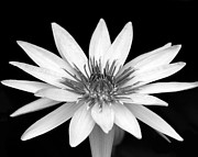 White Water Lilies Posters - One Black and White Water Lily Poster by Sabrina L Ryan