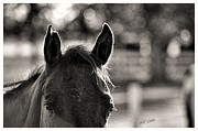 Bill Kesler Prints - One Ear Notched - Black and White Print by Bill Kesler