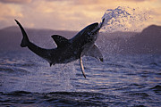 Carcharias Posters - One Great White Shark Jumping Out Of Ocean In An Attack At Dusk Poster by Brandon Cole