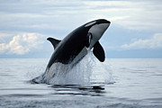 Marine Mammal Prints - one killer whale or orca jumping out of the ocean in the Pacific Print by Brandon Cole