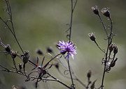 Aster Photos - One Last Bloom by Teresa Mucha