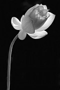 Sabrina L Ryan Metal Prints - One Lotus Bud Metal Print by Sabrina L Ryan