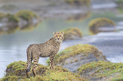 Sandra Bronstein - One More Look - Cheetah Cub