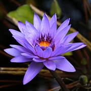 Lilies Posters - One Purple Water Lily Poster by Carol Groenen