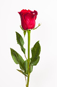 Photos Still Life Posters - One Red Rose Poster by Adam Romanowicz