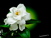 Limelight Prints - One Sensual White Flower Print by Carol F Austin