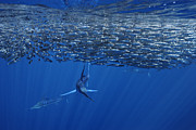 Marlins Posters - One Striped Marlin Feeding On Baitball Of Sardines Beautiful Wall Decor For Office Or Home Poster by Brandon Cole