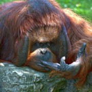 Orang-utan Photos - One Two Three  by Heiko Koehrer-Wagner