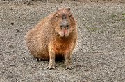 One Very Big Indifferent Rodent-the Capybara Print by Eti Reid
