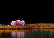 Water Garden Photos - One Water Lily by Sabrina L Ryan