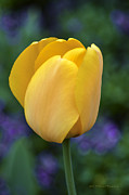 Delicate Bloom Prints - One Yellow Tulip Print by Julie Palencia