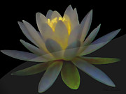 Warm Looking Flower Prints - Opal Lotus Swish Print by Debra     Vatalaro