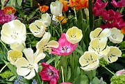 Open Tulips Print by Kathleen Struckle