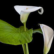 Pistil Prints - Open white calla lily I Print by Heiko Koehrer-Wagner