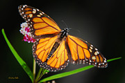 Monarchs Posters - Open Wings Monarch Butterfly Poster by Christina Rollo