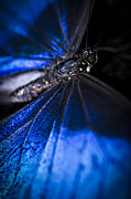 Exotic Metal Prints - Open wings of Blue Morpho butterfly Metal Print by Elena Elisseeva