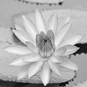 Sabrina L Ryan - Opened Water Lily in...