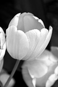 Black And White Florals Framed Prints - Opening Tulip Flower Black and White Framed Print by Jennie Marie Schell