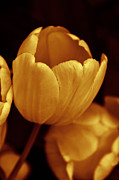 Golden Flowers Metal Prints - Opening Tulip Flower Golden Monochrome Metal Print by Jennie Marie Schell