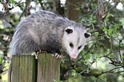 Opossum 2 Print by Angie Vogel