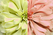 Kathie Mccurdy Prints - Opposites Attract Dahlia Print by Kathie McCurdy