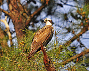 Birds Of Prey Print Prints - Opulent Osprey Print by Al Powell Photography USA