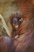 Ape Mixed Media Posters - Orang Utan Baby  Poster by Angela Doelling AD DESIGN Photo and PhotoArt
