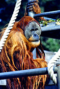 Humanlike Framed Prints - Orang Utan Framed Print by Vanessa Caine