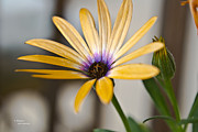 Teresa Dixon Metal Prints - Orange African Daisy Metal Print by Teresa Dixon