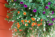 Stopper Prints - Orange and Purple Petunias Print by Connie Fox