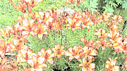 Crosswalk Digital Art - Orange Asiatic Lilies by Beverly Guilliams