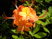 Lillian Connard - Orange Azalea