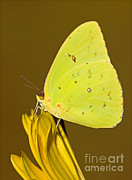 Millard H Sharp - Orange Barred Sulfur Butterfly