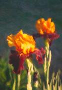 Orange Bearded Irises Print by Omaste Witkowski