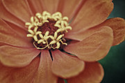 Zinnia Elegans Prints - Orange Beauty Print by Chris Fleming