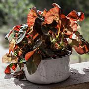 Lynn Palmer - Orange Begonias in White Enamel Pot